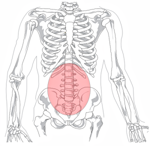 The lumbar spine is the region of the spine between the rib cage and the pelvis