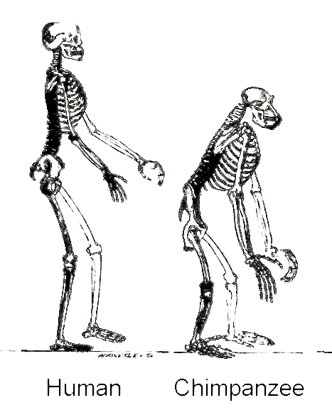 We need to support our evolutionary advantages with good posture, in part because cultural tending has degraded
