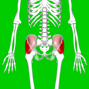 The gluteus medius muscles are shown in red