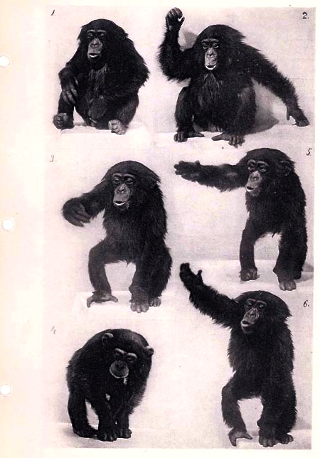The throwing ability of our closest cousin, the chimpanzee, is  limited by the chimp's high, forward-sloping shoulders, and arms that are less able to rotate and forward-extend