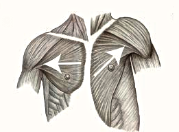 The human shoulder is on the left, the much higher and hunched-forward chimp shoulder is on the right